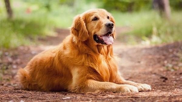 Le-10-migliori-razze-di-cani-Golden-Retriever